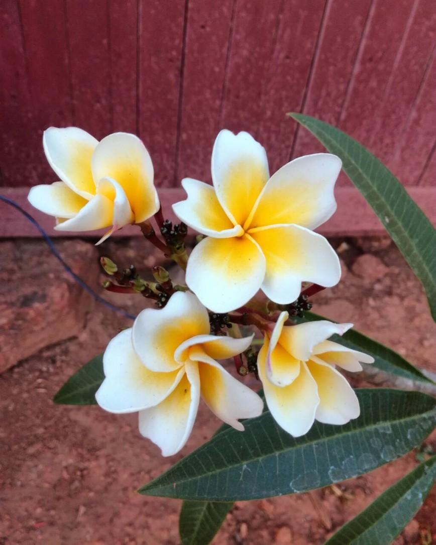 Автор: infanika, Фотозал: Туристические зарисовки, цветы на Гоа, Индия