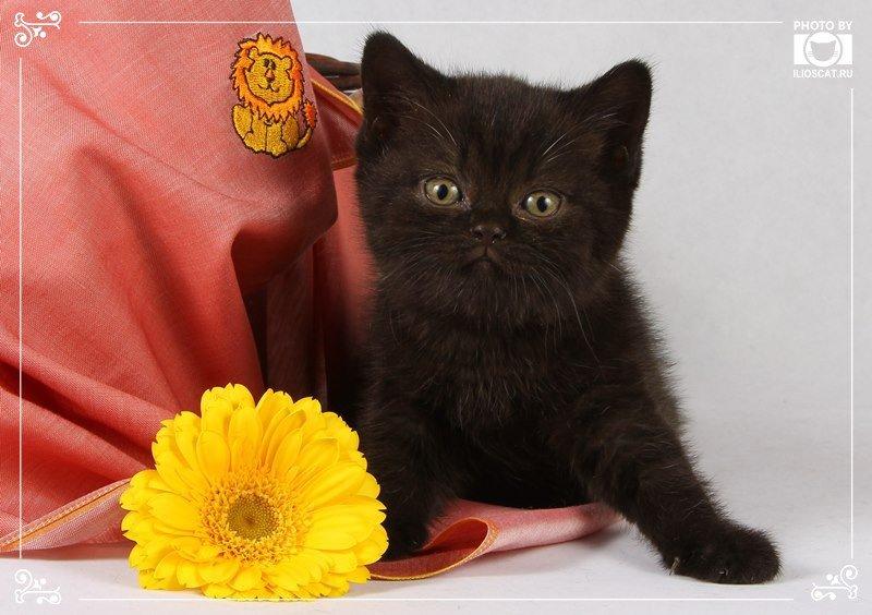 Автор: Ilioscats, Фотозал: Мое хобби, Черные британские котята - www.ilioscat.ru