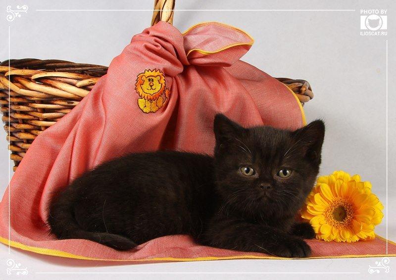 Автор: Ilioscats, Фотозал: Домашние питомцы, Черные британские котята - www.ilioscat.ru