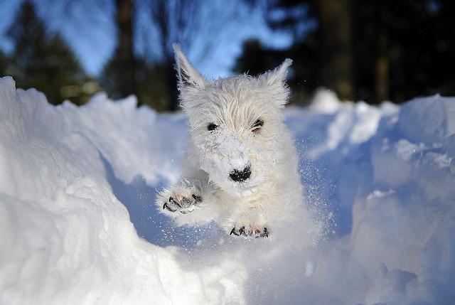 Собаки в снегу