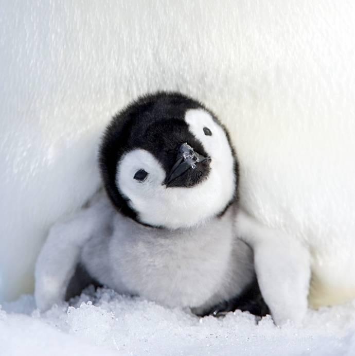 Очаровательные пингвинята