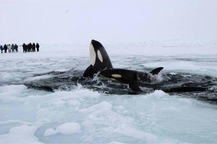 для касатки в северном ледовитом океане после того, как