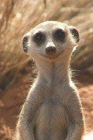 Мое фото surikat