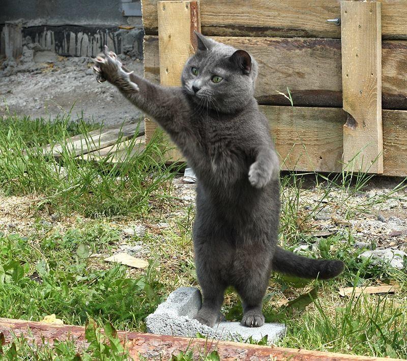 Наша кошка на даче, научилась ловить мышей. Кошку берем на дачу уже пятый год, но мышей она научилась ловить только сейчас - соседский кот научил:) А вообще она у нас боевая, в доме как правило не ночует, ищет приключения.. К нам на участок иногда захаживают коты с деревни. В пятницу ночью она подралась, видимо, отстаивала территорию. Мы ее с утром ждали, переживали, она только в полдень появилась, немного подранена, в районе хвоста шерсть выдранная, на ошейнике - следы зубов.. Вообщем, не гламурная она у нас кошечка, хотя и породистая, русская голубая.