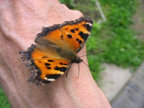 Ручная бабочка :о)