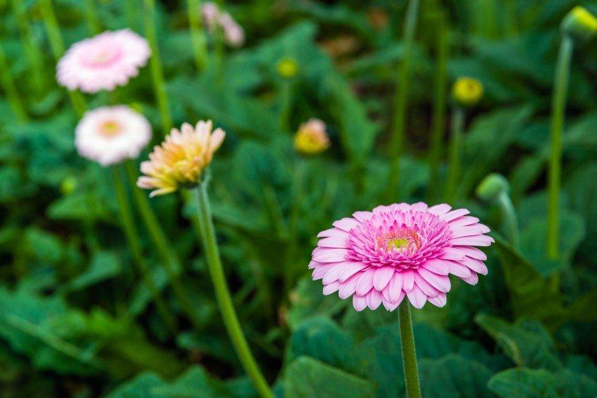 Выставка гербер откроется в Ботаническом саду МГУ