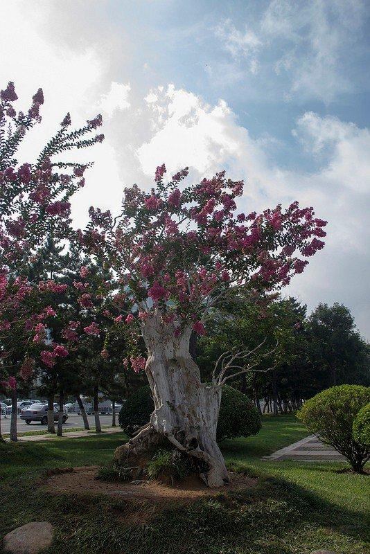 Автор: Розабельверде, Фотозал: Туристические зарисовки, Лагерстрёмия или индийская сирень. Растет повсеместно и цветет красивыми крупными кистями. Это дерево - одно из старых, чаще встречались невысокие кустарники.
