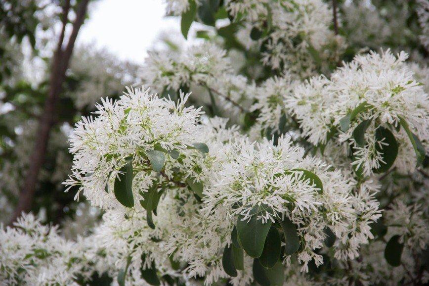 Автор: Розабельверде, Фотозал: Туристические зарисовки, Первый раз такое дерево увидела. Называется снежноцвет или китайская бахрома. Деревья очень нарядные и белоснежные.