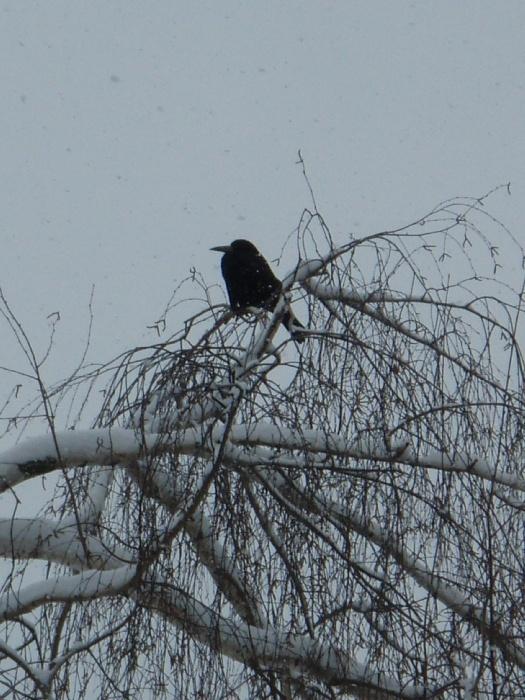 Черный ворон..