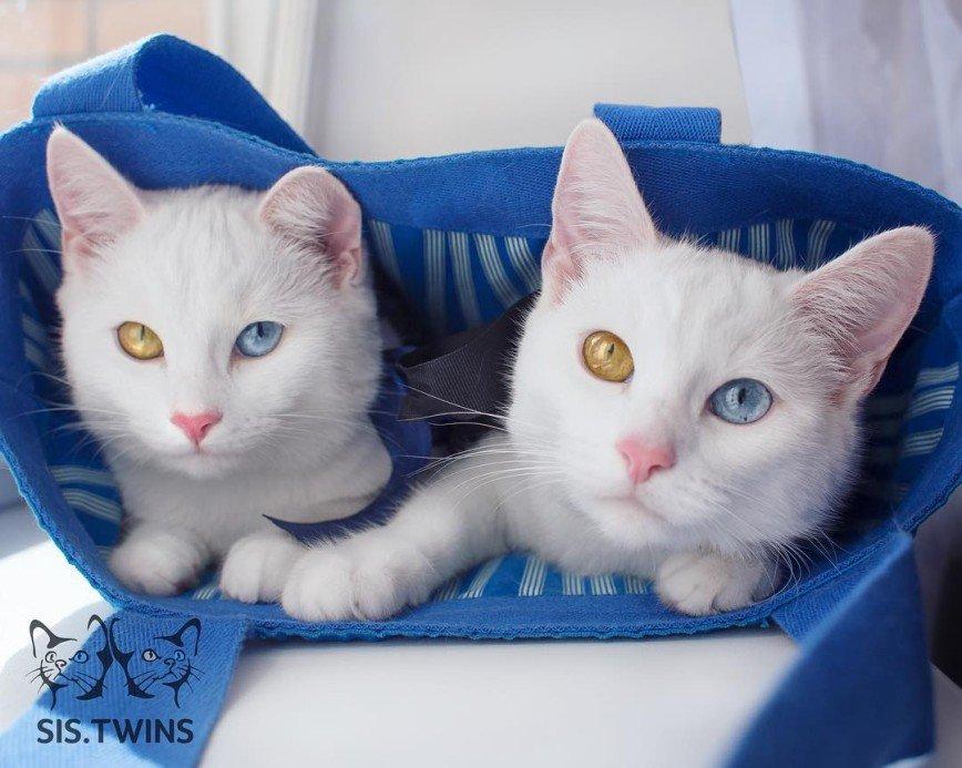 О Петербургских кошках-близнецах узнали за границей