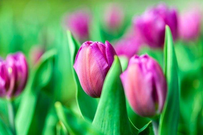 В Сокольниках раздадут луковицы тюльпанов