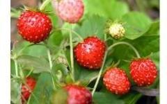 Как заботиться о ягодных культурах в сентябре?