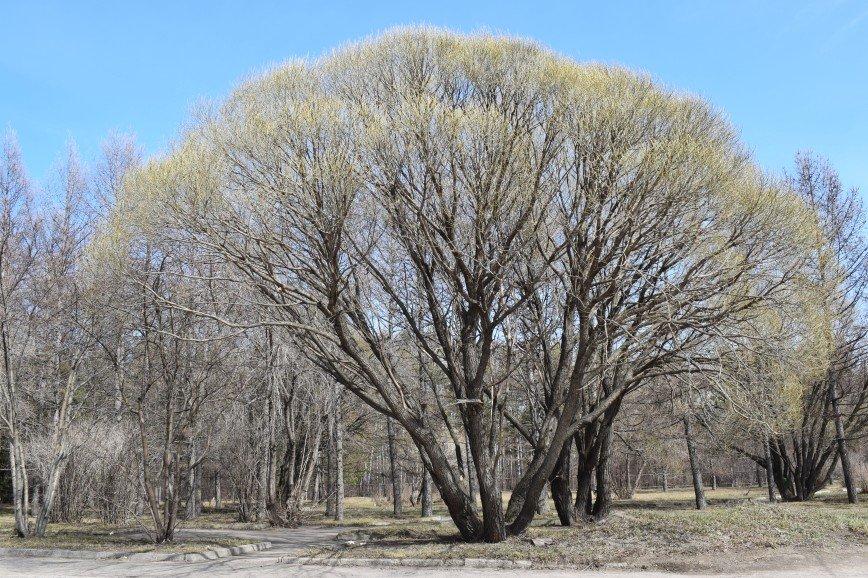 Автор: Багуля, Фотозал: Родные просторы, Изумительная крона весеннего дерева.
