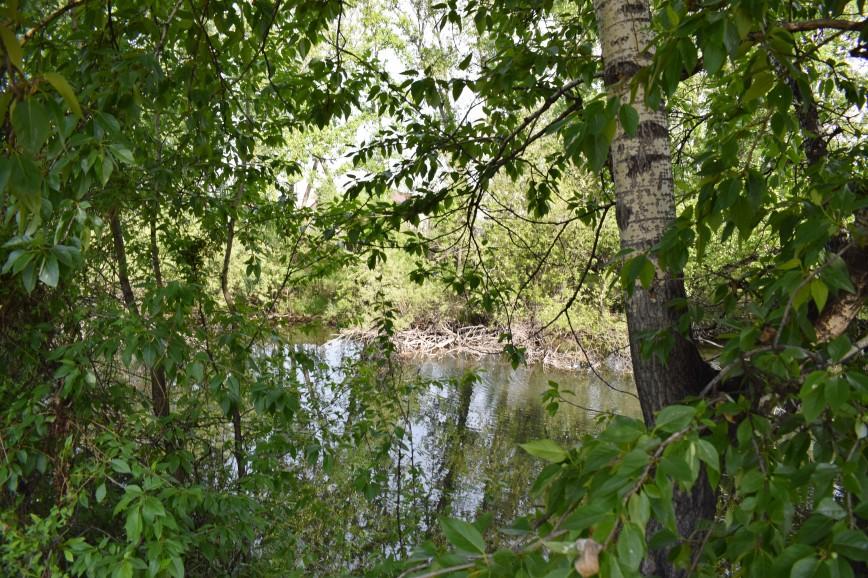 Багуля Заросший пруд