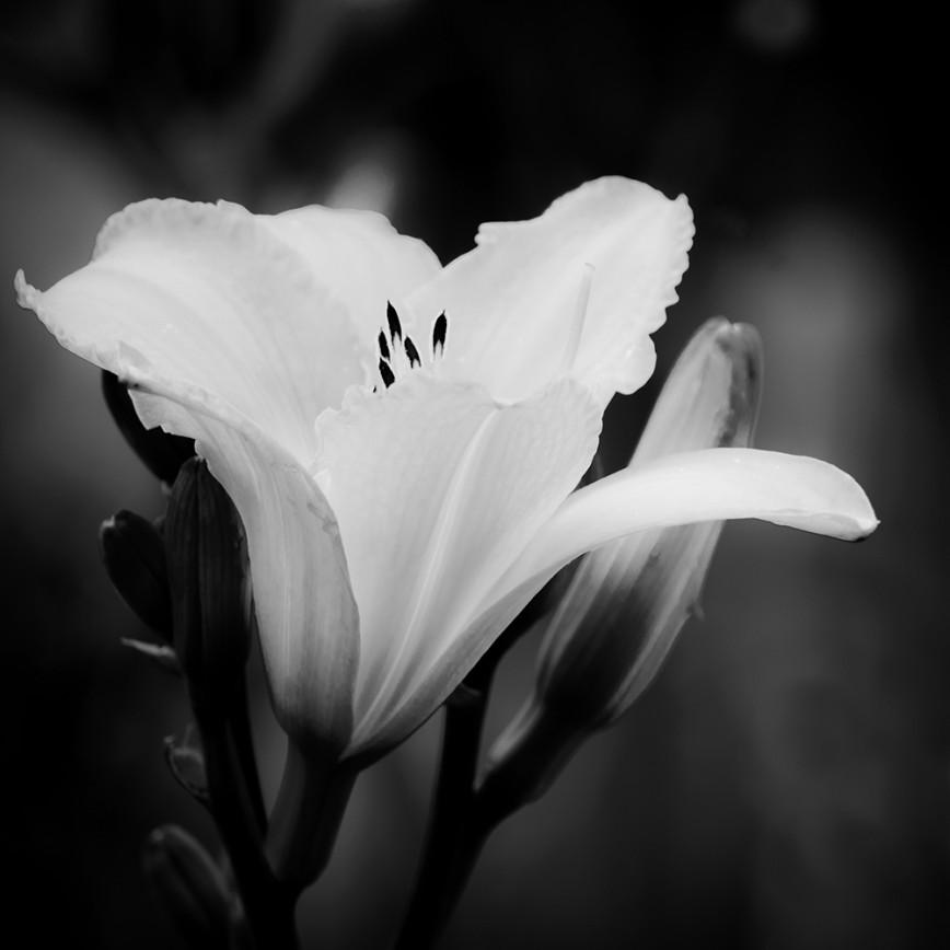 Картинки черно-белые цветы лилии, картинки