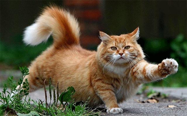 Кот гомосексуальной ориентации