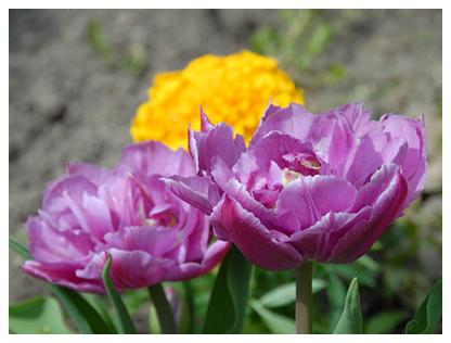 Как вижу луковицы интересных тюльпанов, так просто дурею. :):):)