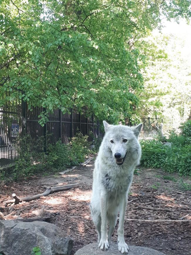 Автор: Lilija, Фотозал: Туристические зарисовки, Тундровый волк - символ ЧМ 2018 по хоккею. Зоопарк в Калининграде.