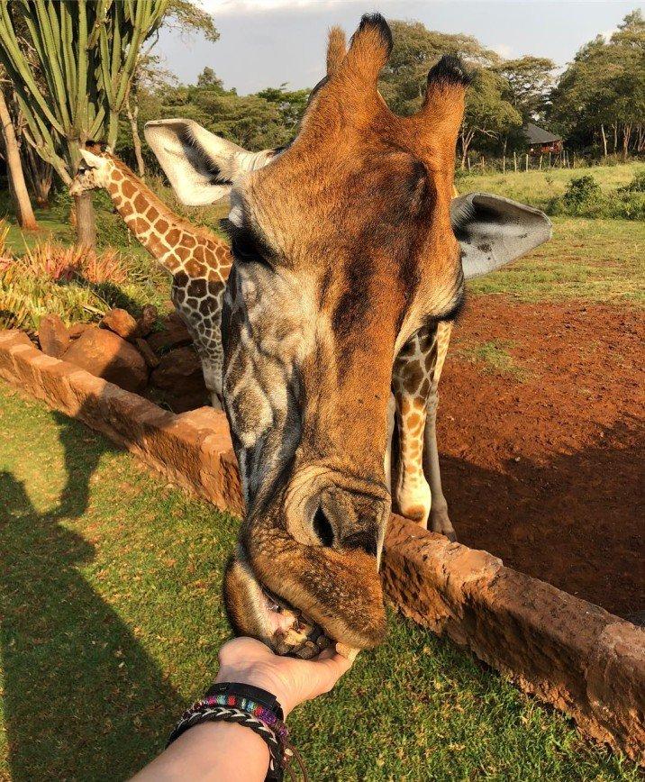 """""""Это из области фантастики"""": Наталья Давыдова позавтракала с жирафами в кенийском отеле"""