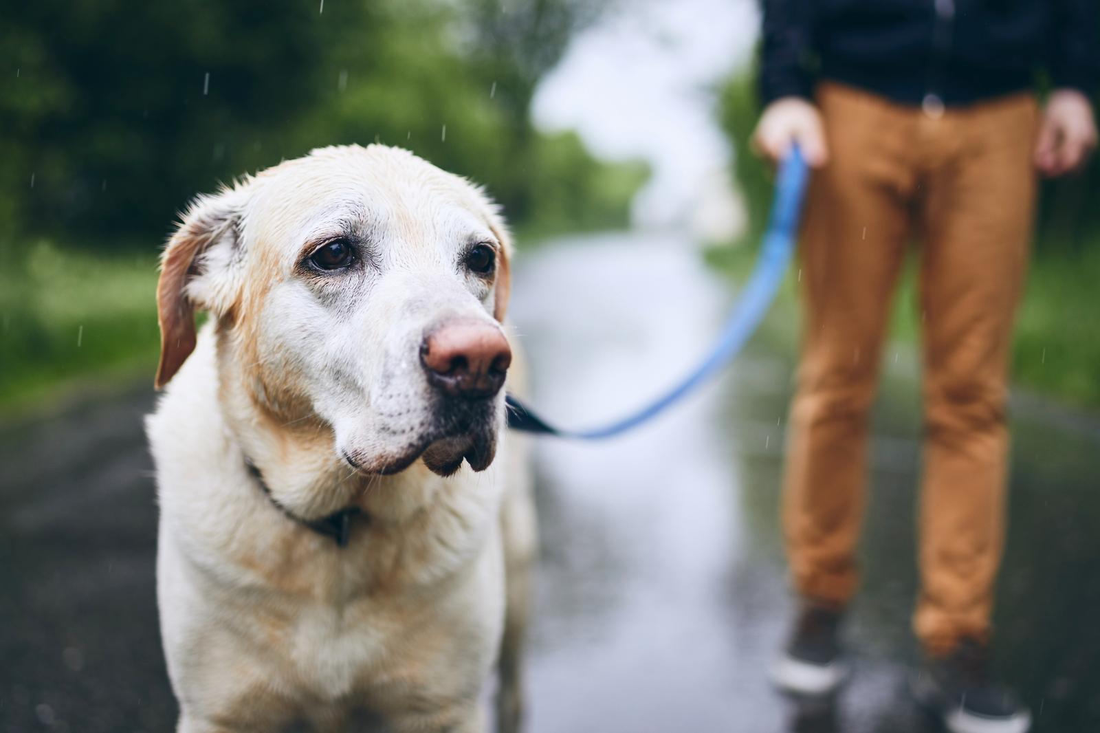 Собакаводынебояка: вредно ли питомцу гулять под дождем