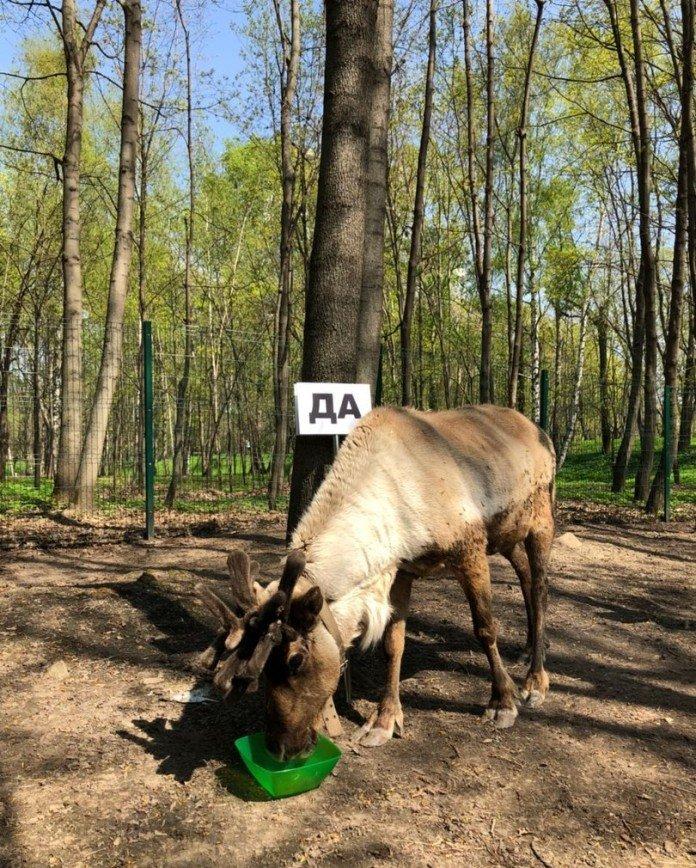 «Не подведи!»: северный олень Яша предсказала сборной России выход из группы на ЧМ-2018