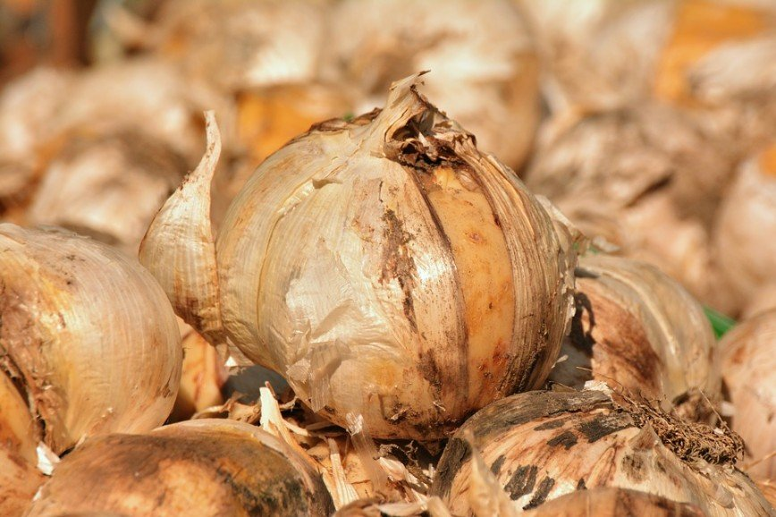 В Швейцарии раскопали 1500-летнюю луковицу