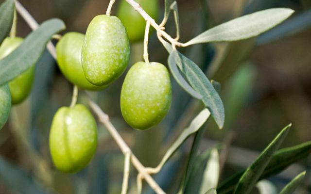 В оливковую рощу Дали пустят туристов