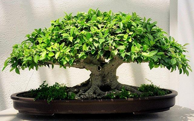 Бонсай — декоративное чудо-дерево