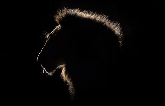 Всемирный день льва