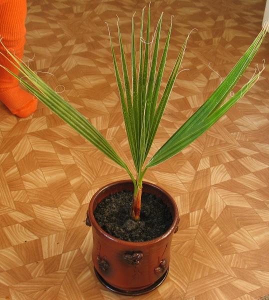 местные четверки вашингтония нитеносная выращивание из семян фото согласна