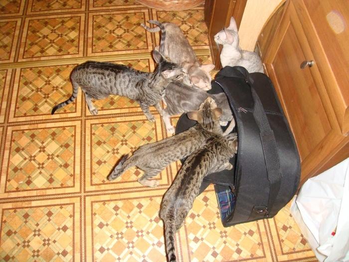 выбираем кошку или они нас,непонятно