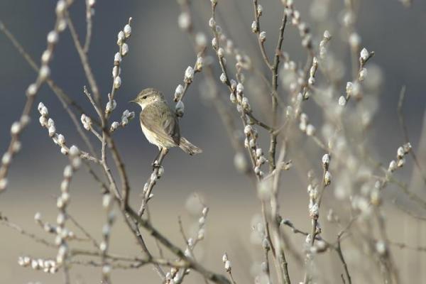 картинки ранняя весна верба и птички интерьеров