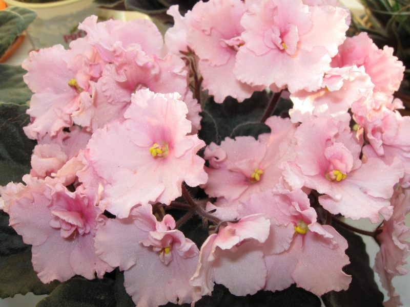 нежно розовая фиалка фото соответствующие изображения себя
