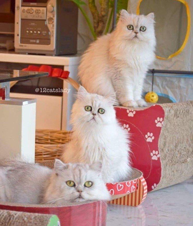 Кошек много не бывает, или Как живет дюжина персов :