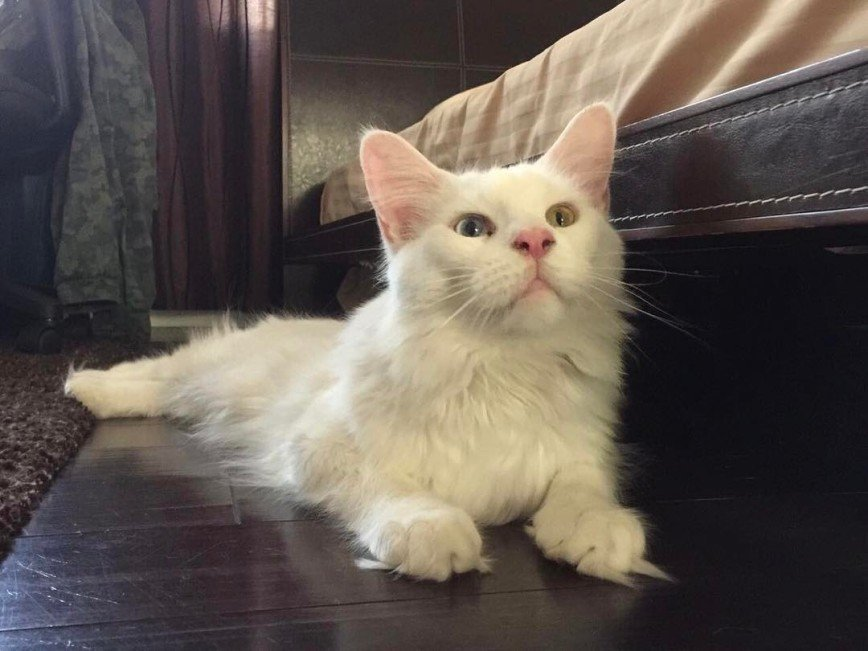 Тихон и Кефир: парочка белоснежных котиков