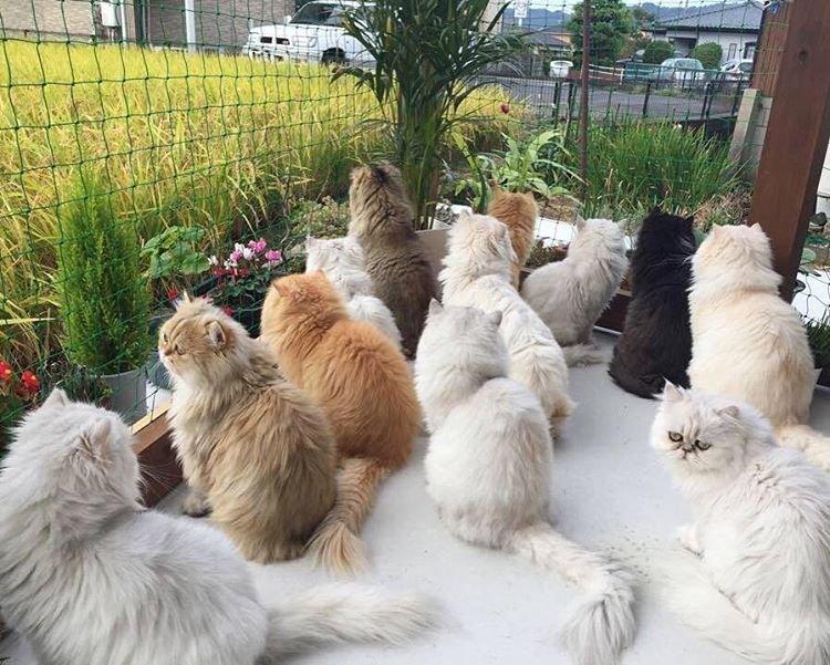 Кошек много не бывает, или Как живет дюжина персов