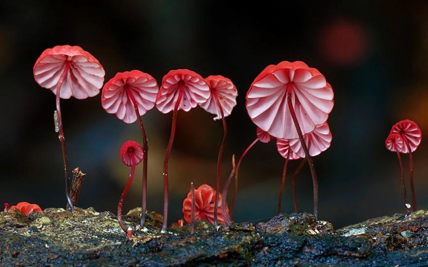20 фотографий самых красивых грибов в мире: 3. Marasmius haematocephalus Негниючник.  Род Marasmius включает около 500 видов, из которых лишь несколько съедобны — например Луговой опёнок