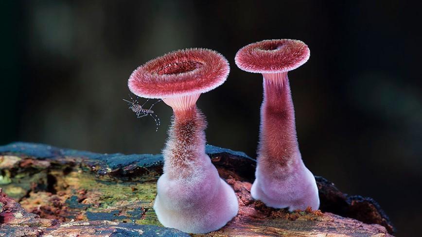 20 фотографий самых красивых грибов в мире: 7. Panus fasciatus.  Эти мохнатые грибы растут в основном в Австралии.