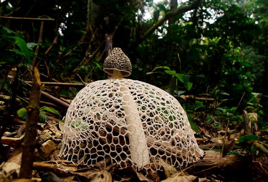 20 фотографий самых красивых грибов в мире: 4. Phallus indusiatus «Дама с вуалью».  Phallus indusiatus принадлежит к семейству Весёлковых. Необычной особенностью этого гриба является наличие кружевной