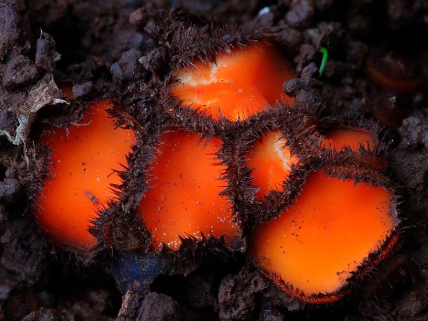 20 фотографий самых красивых грибов в мире: 20. Scutellinia scutellata Скутеллиния щитовидная.  Селится с весны до осени на мертвой и гниющей древесине. Гриб незначителен из-за своих