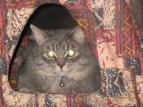 а это ее сынок,Наур-Ласковый Зверь(по документам),но зовем его просто-Том,обитает в Питере у моей мамы,наш всеобщий любимец!